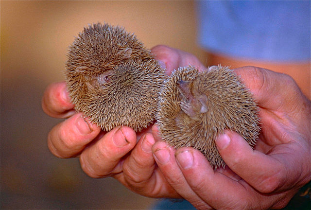 Two lesser hedgehog tenrecs being held in a person's hands