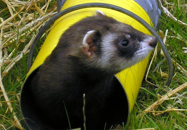 A brown and white ferret emerging from a racing tunnel