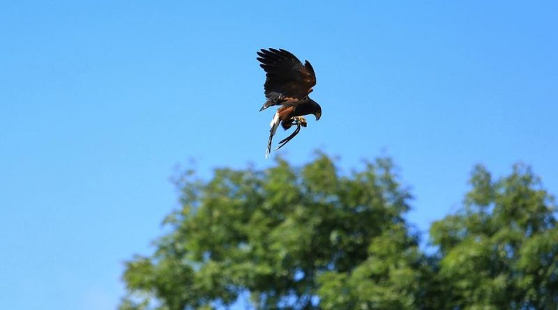 A Harris Hawk of North Devon Falconry at Lustleigh Village Show