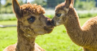 An Alpaca mother and baby from Cadenza Alpacas