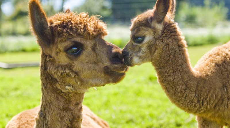 An Alpaca mother and baby from Cadenza Alpacas