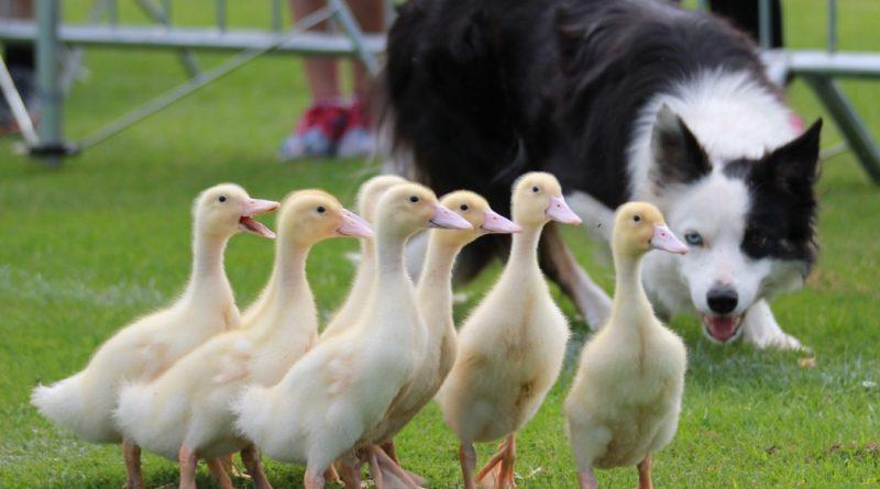 Sheepdog displays